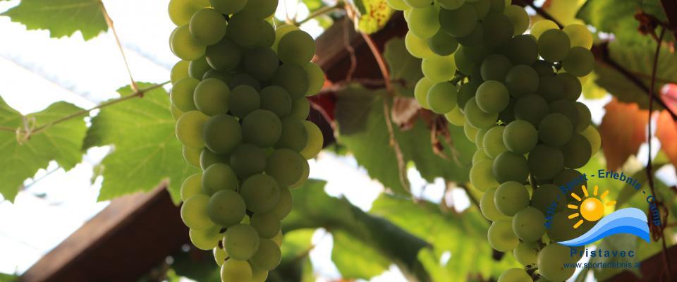 Der Herbst ist da, die Weintrauben sind reif.