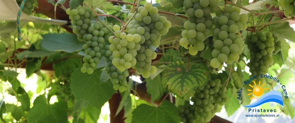 Weintrauben auf unserer Terrasse